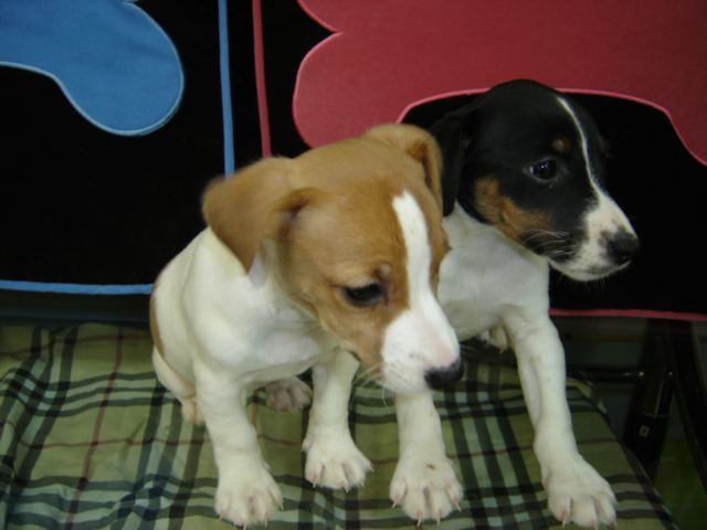 Shih Tzu Cross Boston Terrier Pups For Sale | Dog Breeds ...